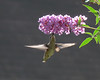 Finally figured out a place to stake myself for decent hummingbird shots. They come to my feeder in the back yard all day long but, who really wants to see another amateur  picture of a hummingbird, never mind at a bright red feeder.  Well, sorry but, you get one more. At least there's no feeder.